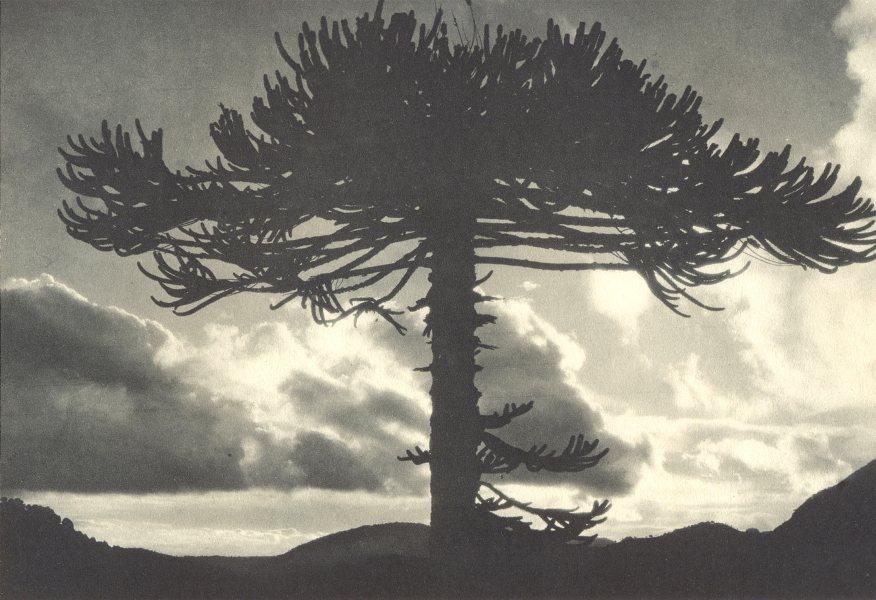 CHILE. Tolhuaca. Araucaria imbricata. 1932 old vintage print picture