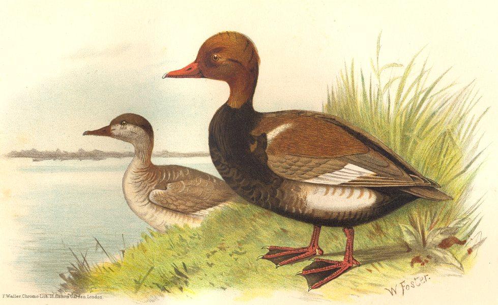 Associate Product INDIAN GAME BIRDS. Red-Crested Pochard (Branta Rufina). Chromolitho. FINN 1915