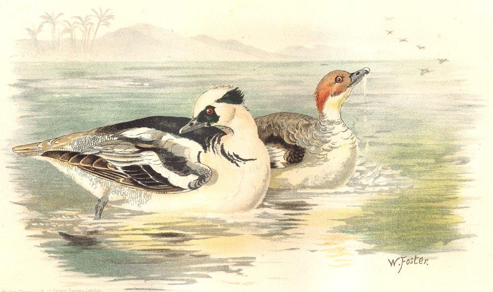 Associate Product INDIAN GAME BIRDS. Smew (Mergellus Albellus). Chromolithograph. FINN 1915