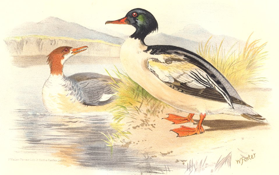 Associate Product INDIAN GAME BIRDS. Goosander (Mergus Castor). Chromolithograph. FINN 1915