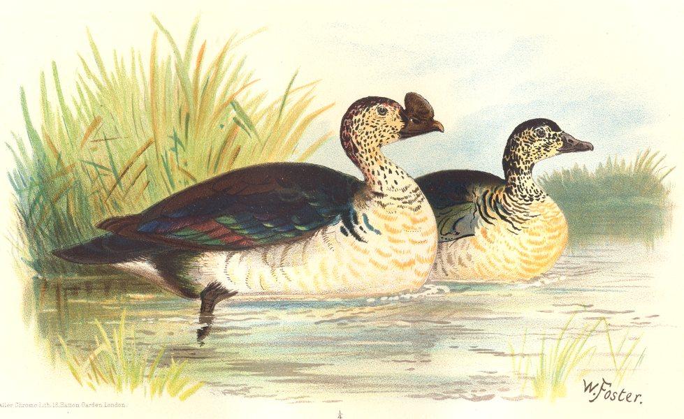 INDIAN GAME BIRDS. Comb Duck (Sarkidiornis Melanotus). Chromolitho. FINN 1915