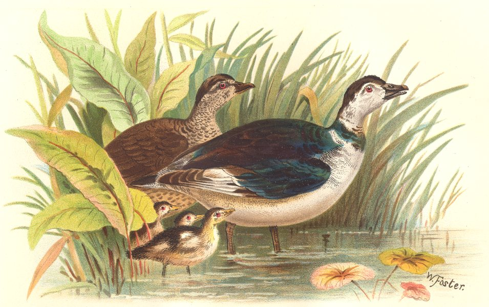 Associate Product INDIAN GAME BIRDS. Cotton-Teal (Nettapus Coromandelicus). Chromolitho. FINN 1915