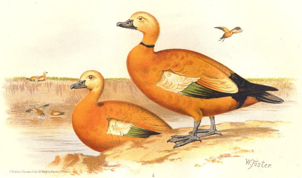 Associate Product INDIAN GAME BIRDS. Ruddy Sheldrake (Casarca Rutila). Chromolithograph. FINN 1915
