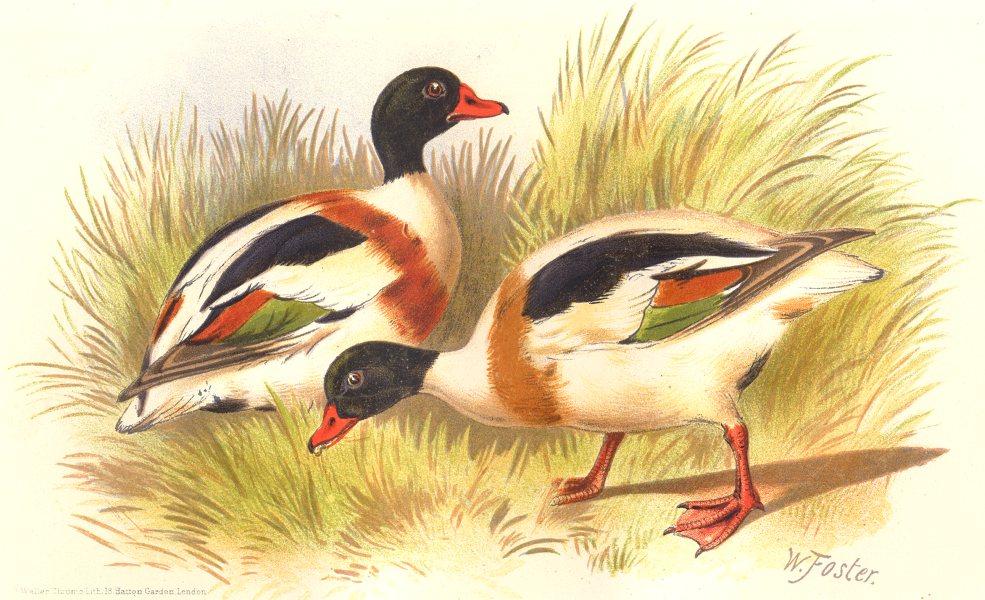 Associate Product INDIAN GAME BIRDS. Common Sheldrake (Tadorna Vulpanser). Chromolitho. FINN 1915