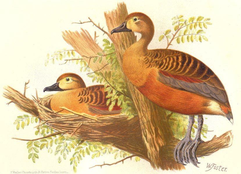 Associate Product INDIAN GAME BIRDS. Small Whistler (Dendrocygna Arcuata). Chromolitho. FINN 1915