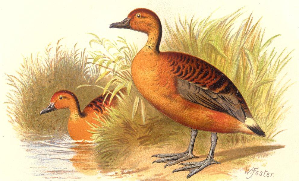 Associate Product INDIAN GAME BIRDS. Large Whistler (Dendrocygna Major). Chromolitho. FINN 1915