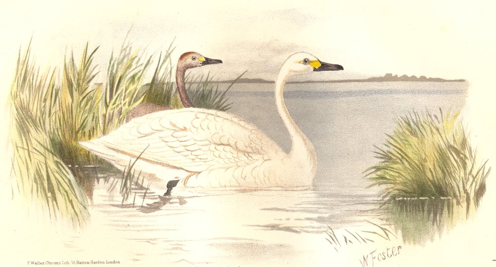 Associate Product INDIAN GAME BIRDS. Bewick's Swan (Cygnus Bewicki). Chromolithograph. FINN 1915
