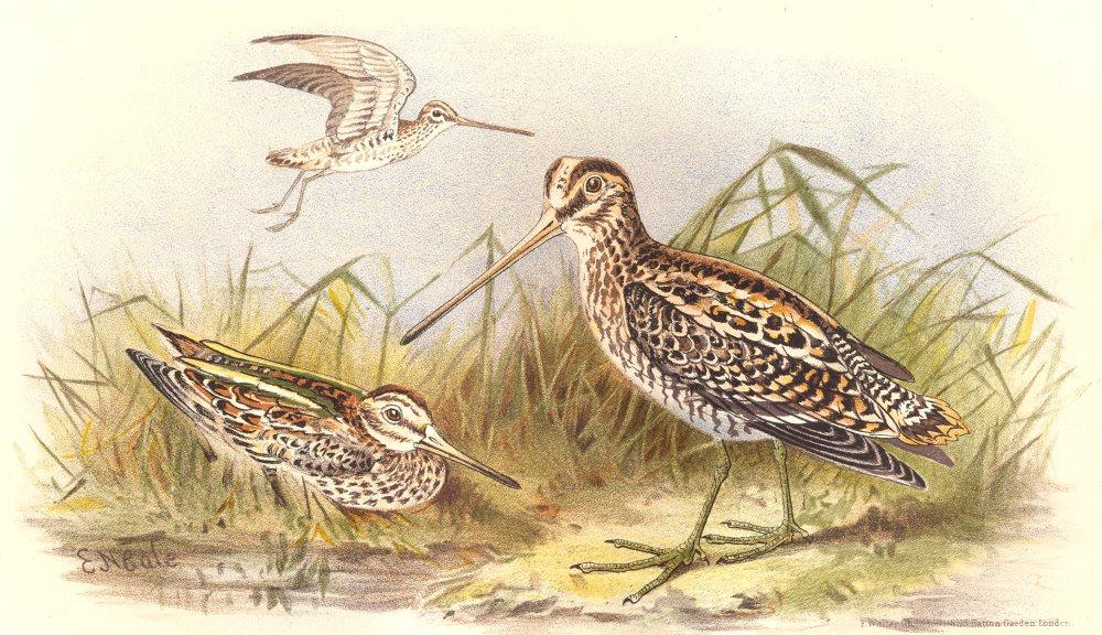 Associate Product INDIAN GAME BIRDS. Common & Jack-Snipe (Gallinago Gallinula & Scolopacinus) 1915