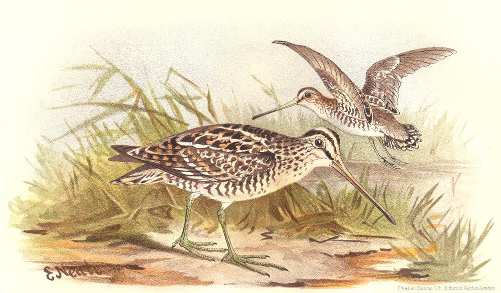 Associate Product INDIAN GAME BIRDS. Pintail Snipe (Gallinago Stenura). Chromolitho. FINN 1915
