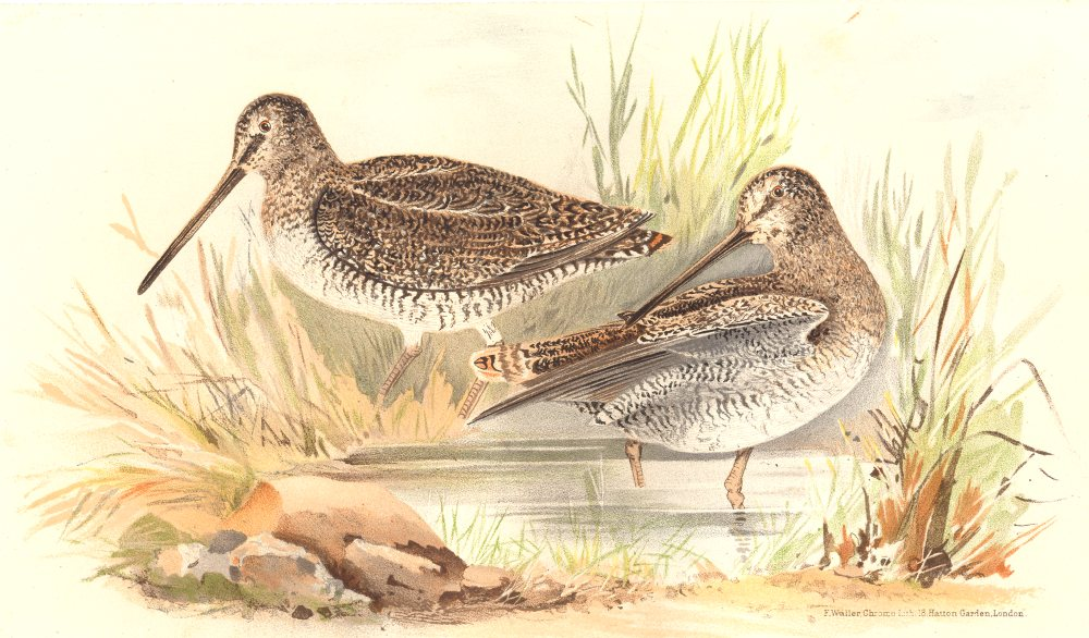 Associate Product INDIAN GAME BIRDS. Eastern Solitary Snipe (Gallinago Solitaria). FINN 1915