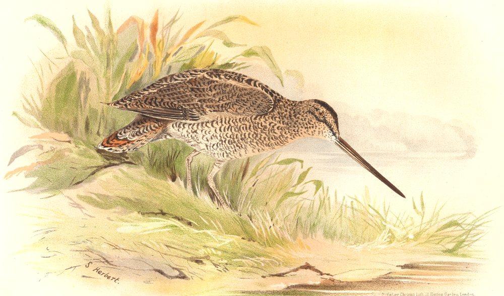 Associate Product INDIAN GAME BIRDS. Wood-Snipe (Gallinago Nemoricola). Chromolitho. FINN 1915