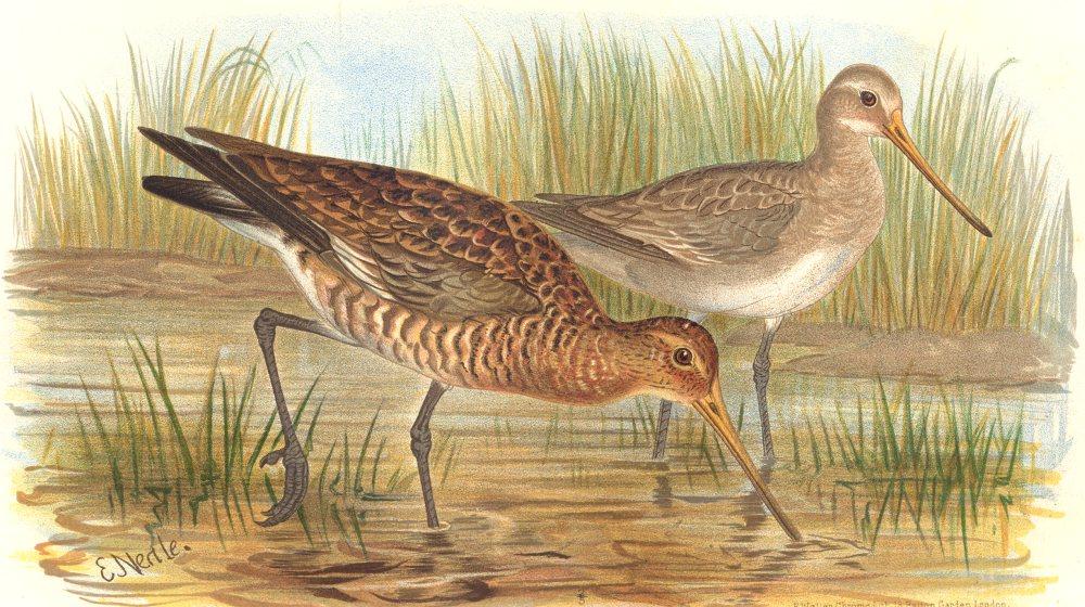 Associate Product INDIAN GAME BIRDS. Black-Tailed Godwit (Limosa Aegocepala). FINN 1915 print