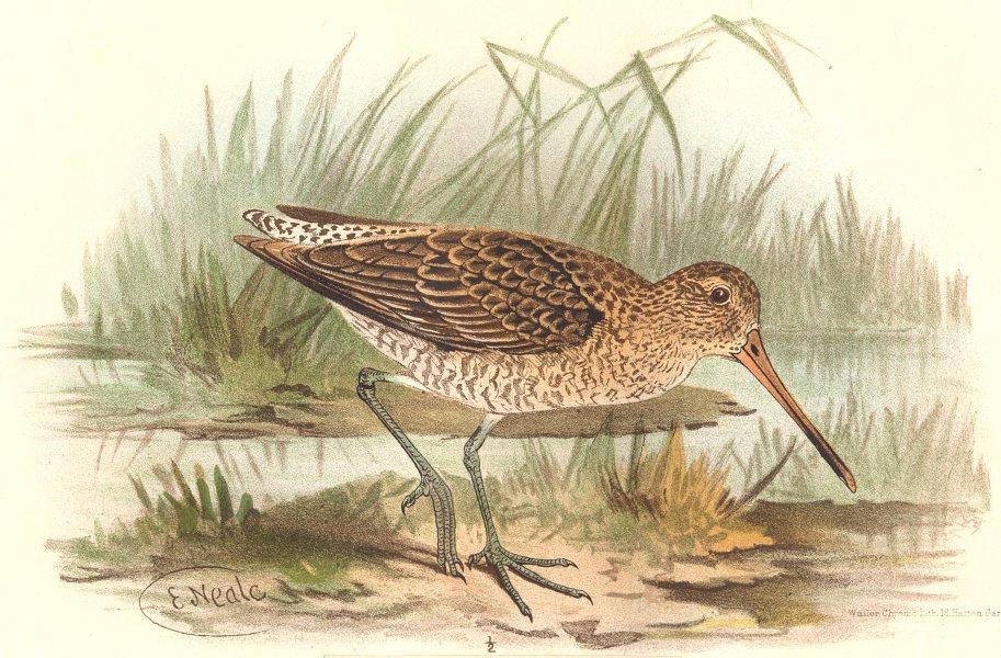 Associate Product INDIAN GAME BIRDS. Snipe-billed Godwit (Pseudoscolopax Semipalmatus). FINN 1915