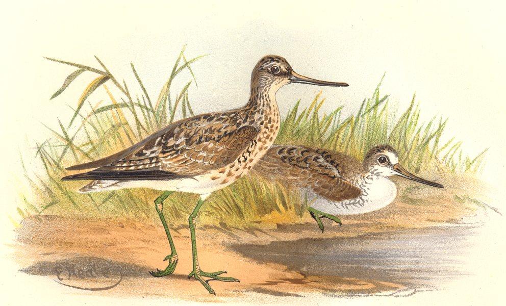 Associate Product INDIAN GAME BIRDS. Armstrong's Yellowshanks (Totanus Haughtoni). FINN 1915