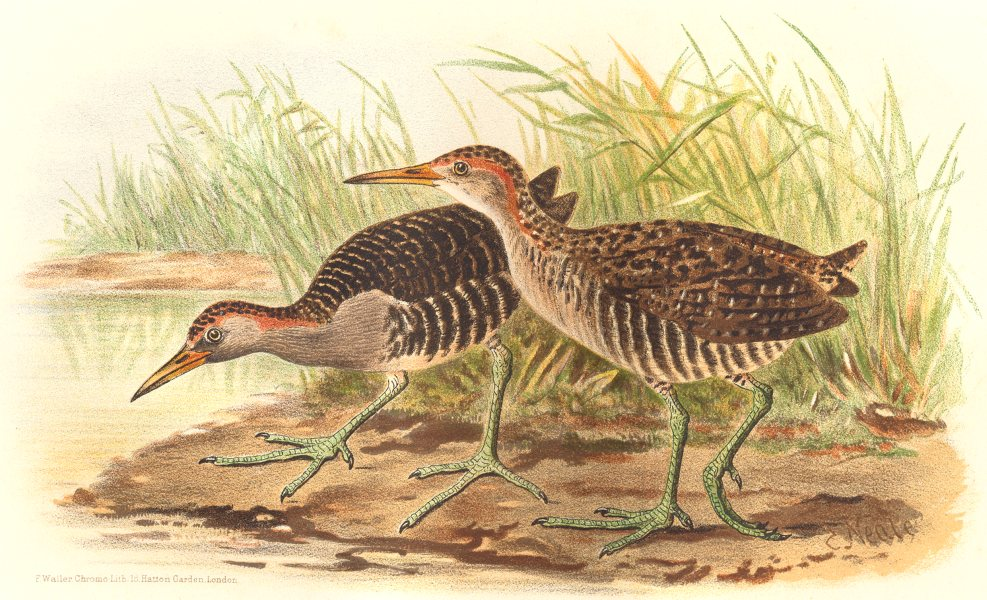 Associate Product INDIAN GAME BIRDS. Blue-breasted Banded Rail. Chromolithograph. FINN 1915