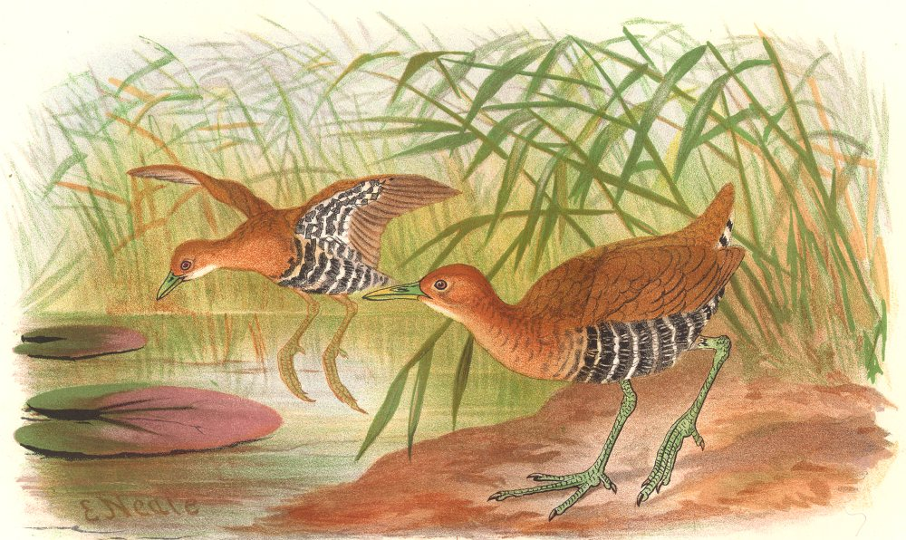 INDIAN GAME BIRDS. Banded Crake (Porzana Euryzonoides). Chromolitho. FINN 1915