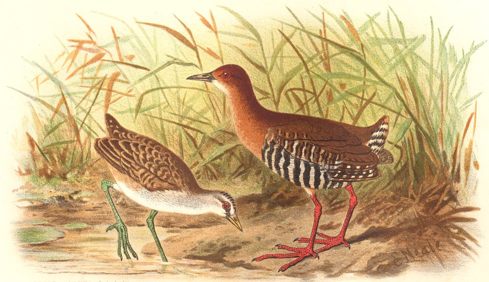 Associate Product INDIAN GAME BIRDS. Malayan Banded Crake & Whity-brown. Chromolitho. FINN 1915