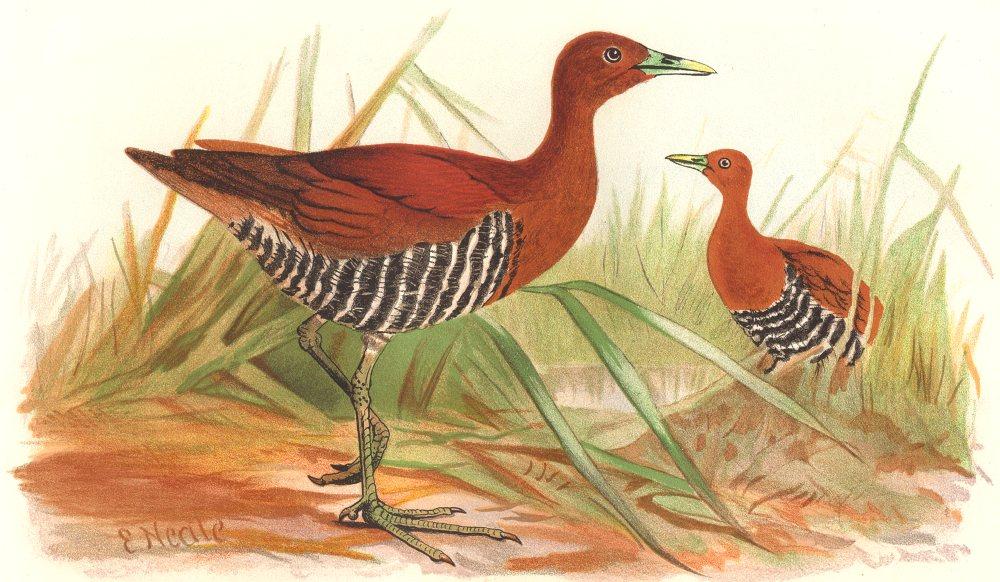 Associate Product INDIAN GAME BIRDS. Andamanese Banded Crake (Euryzona Canningi). FINN 1915