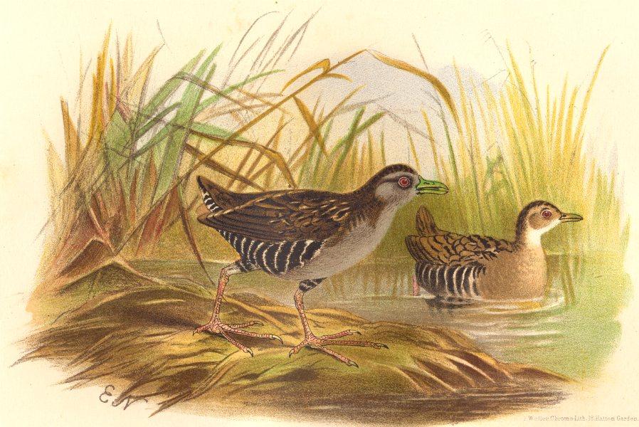 Associate Product INDIAN GAME BIRDS. Eastern Baillon's Crake (Crex Baillonii). FINN 1915 print