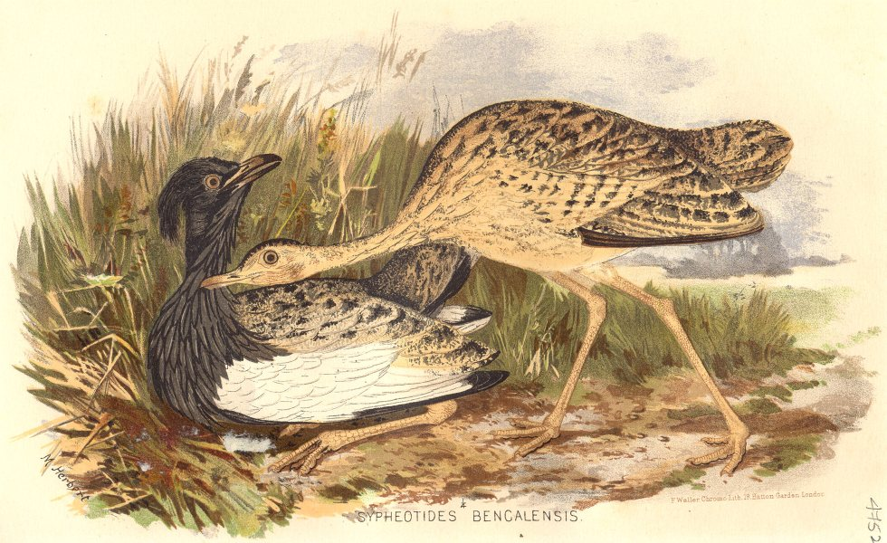 Associate Product INDIAN GAME BIRDS. The Florican (Sypheotides Bengalensis). FINN 1915 old print