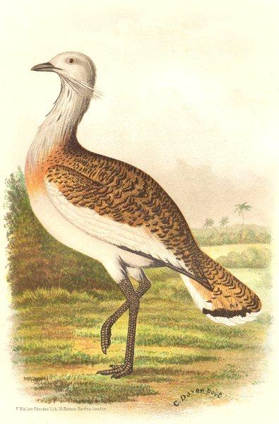 Associate Product INDIAN GAME BIRDS. European Great Bustard (Otis Tarda). Chromolitho. FINN 1915