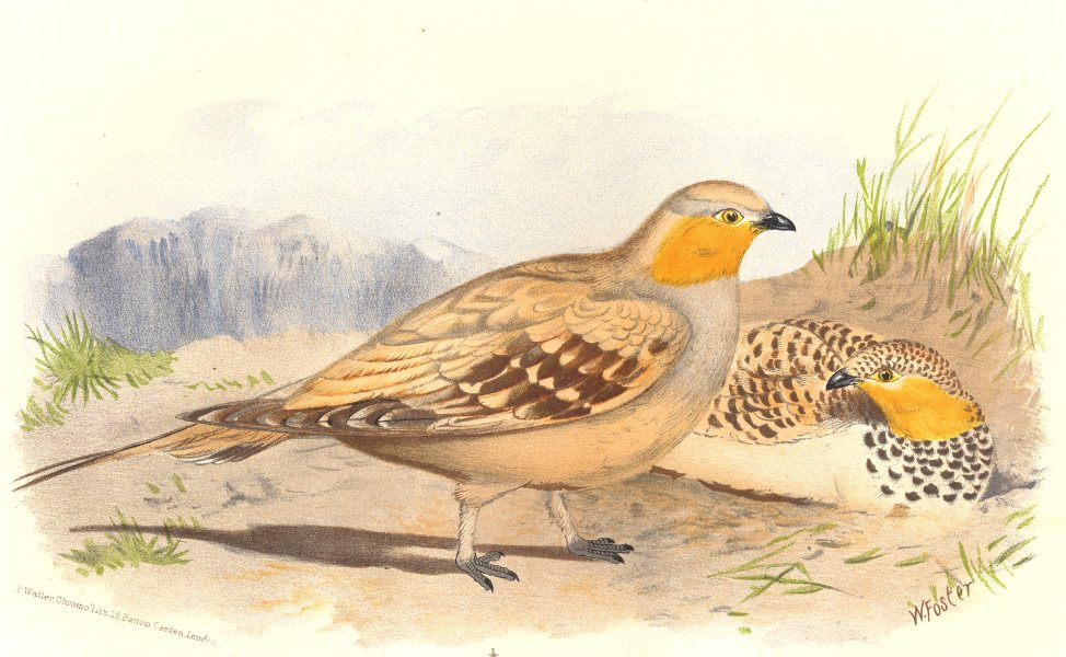 Associate Product INDIAN GAME BIRDS. Spotted Sand-Grouse (Pterocles Senegalus). FINN 1915 print