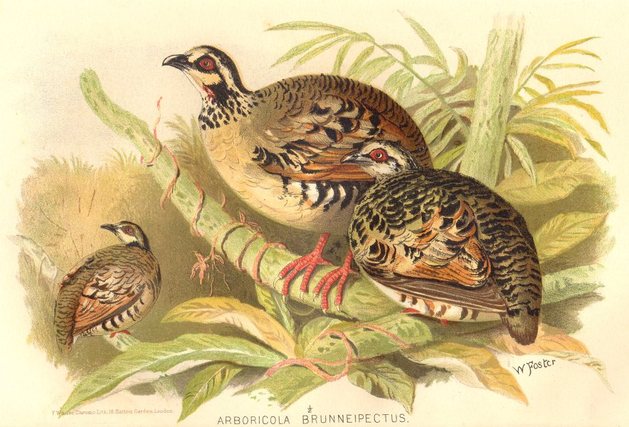 Associate Product INDIAN GAME BIRDS. Brown-breasted Hill-Partridge (Arboricola Brunneipectus) 1915