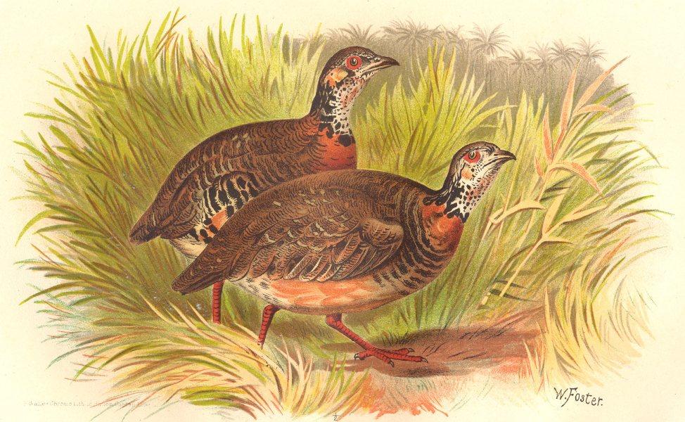 Associate Product INDIAN GAME BIRDS. Charlton's Hill-Partridge (Perdix Charltoni). FINN 1915