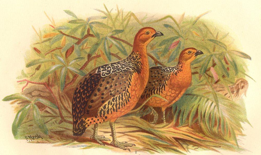 Associate Product INDIAN GAME BIRDS. Chestnut Wood-Partridge (Caloperdix Occulea). FINN 1915