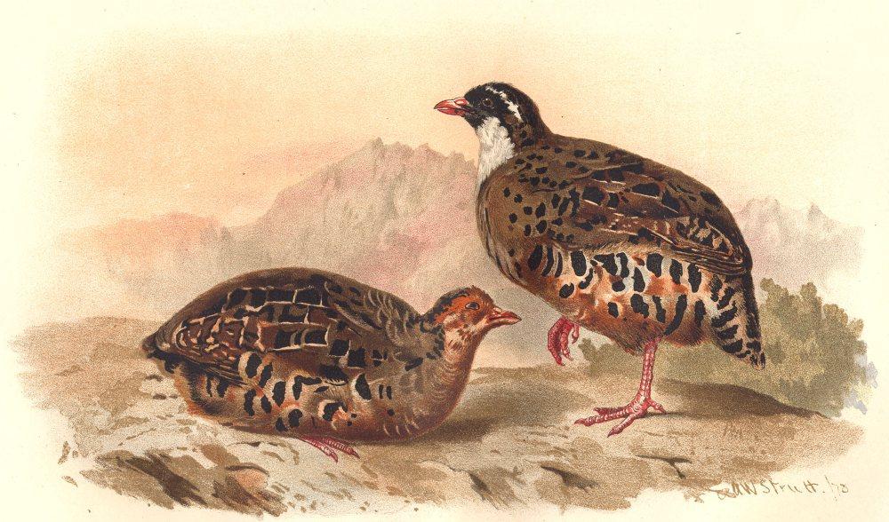 Associate Product INDIAN GAME BIRDS. Painted Bush-Quail (Perdicula Erythrohyncha). FINN 1915