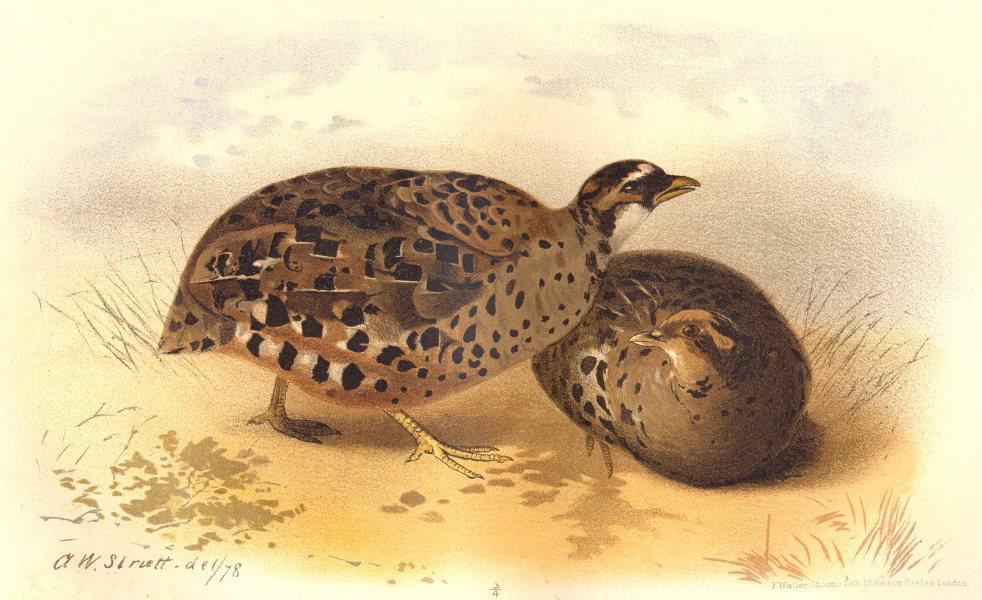 Associate Product INDIAN GAME BIRDS. Blewitt's Painted Bush-Quail (Perdicula Blewitti). FINN 1915