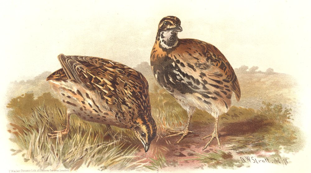 Associate Product INDIAN GAME BIRDS. Rain Quail (Coturnix Coromandeliea). Chromolitho. FINN 1915