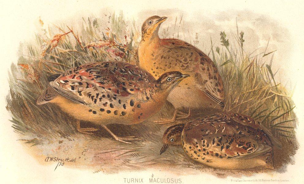 INDIAN GAME BIRDS. Burmese Yellow-legged Button Quail (Turnix Maculosus) 1915