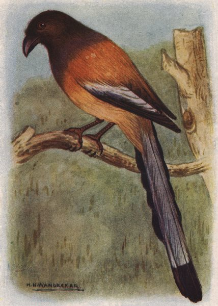 INDIAN BIRDS. The Tree-pie 1943 old vintage print picture