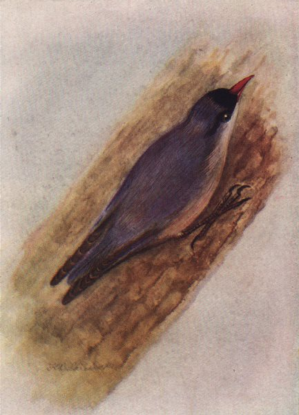 INDIAN BIRDS. The Velvet-fronted Nuthatch 1943 old vintage print picture