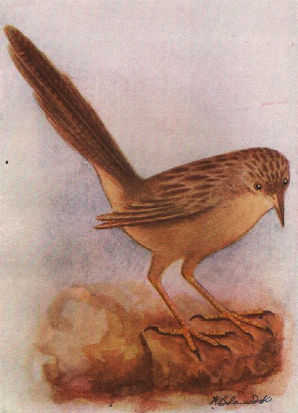 Associate Product INDIAN BIRDS. The Common Babbler 1943 old vintage print picture