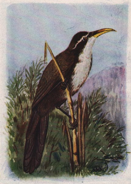 Associate Product INDIAN BIRDS. The Deccan Scimitar Babbler 1943 old vintage print picture
