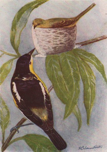 Associate Product INDIAN BIRDS. The Common Lora 1943 old vintage print picture