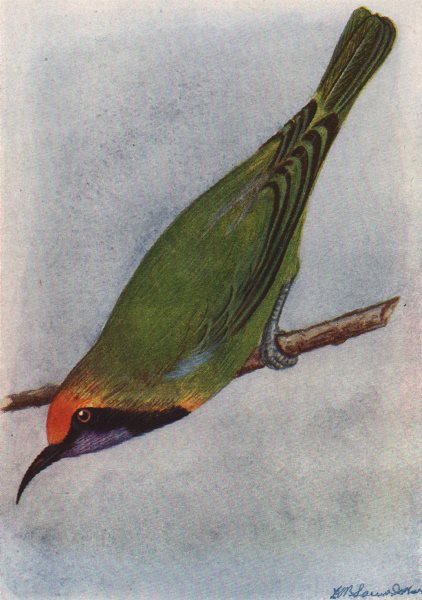 INDIAN BIRDS. The Gold-fronted Chloropsis 1943 vintage print picture