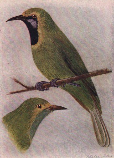 Associate Product INDIAN BIRDS. Jerdon's Chloropsis 1943 old vintage print picture