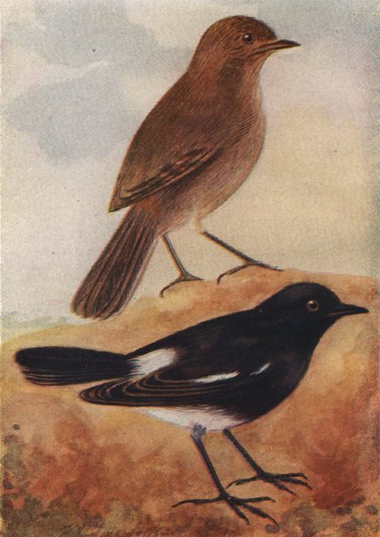 Associate Product INDIAN BIRDS. The Pied Bush-Chat 1943 old vintage print picture