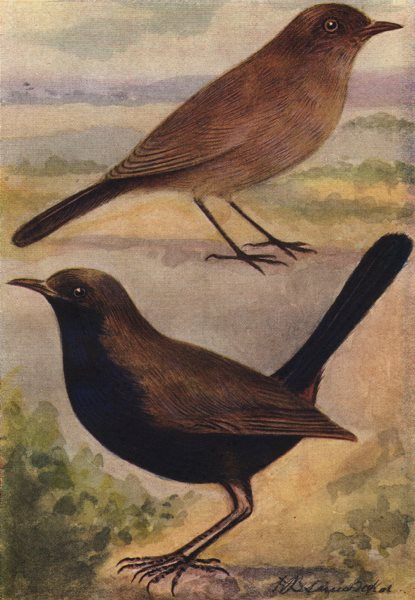 Associate Product INDIAN BIRDS. The Indian Robin 1943 old vintage print picture