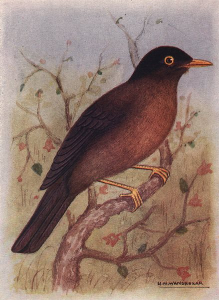 Associate Product INDIAN BIRDS. The Black-Capped Blackbird 1943 old vintage print picture