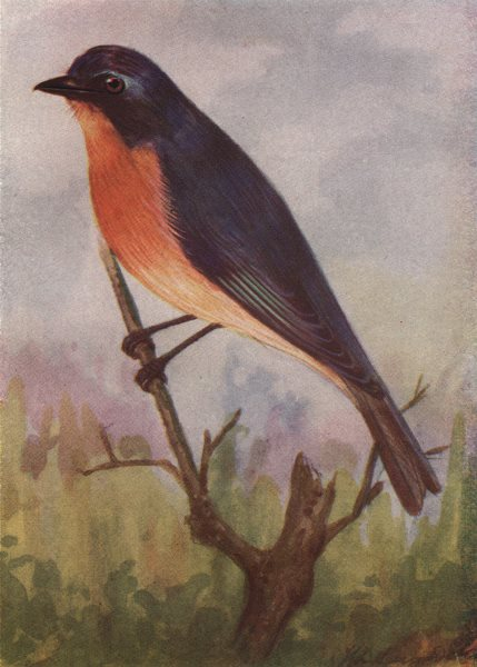 Associate Product INDIAN BIRDS. Tickell's blue Flycatcher 1943 old vintage print picture
