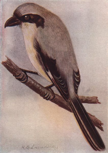INDIAN BIRDS. The Grey Shrike 1943 old vintage print picture