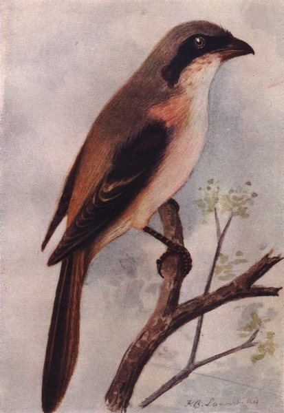 Associate Product INDIAN BIRDS. The Rufous-backed Shrike 1943 old vintage print picture
