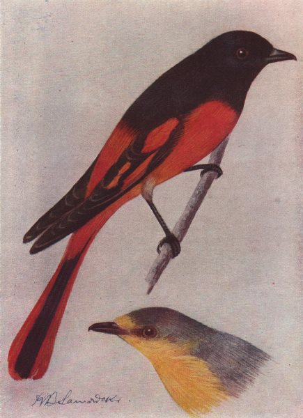 Associate Product INDIAN BIRDS. The Scarlet Minivet 1943 old vintage print picture