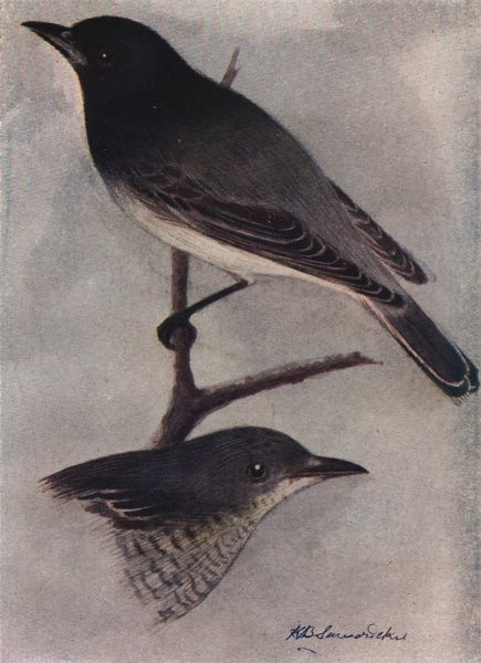 Associate Product INDIAN BIRDS. The Black-headed Cuckoo-Shrike 1943 old vintage print picture