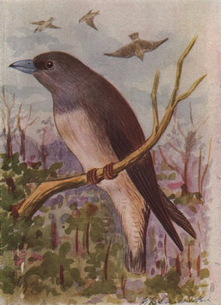 Associate Product INDIAN BIRDS. The Ashy Swallow-Shrike 1943 old vintage print picture