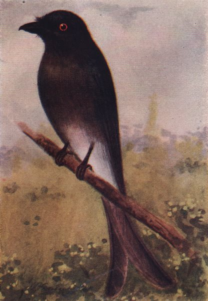 Associate Product INDIAN BIRDS. The White-bellied Drongo 1943 old vintage print picture